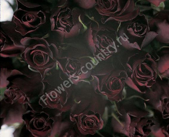 Черная роза black baccara оптом