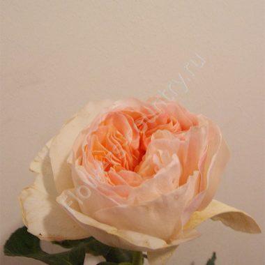 Пионовидная роза david austin