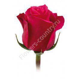 Пурпурная роза «Черри о»