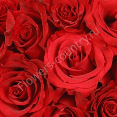 Красная роза оптом