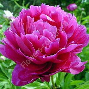 Пион ярко-розовый