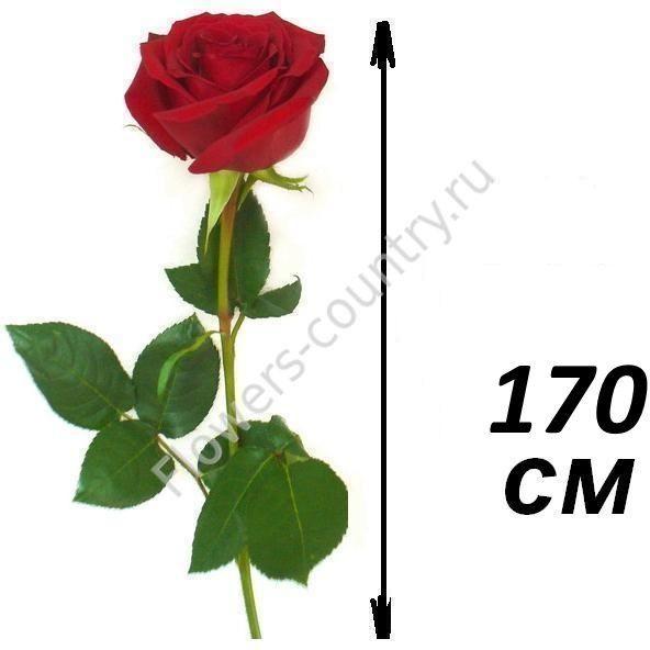 Розы 170 см