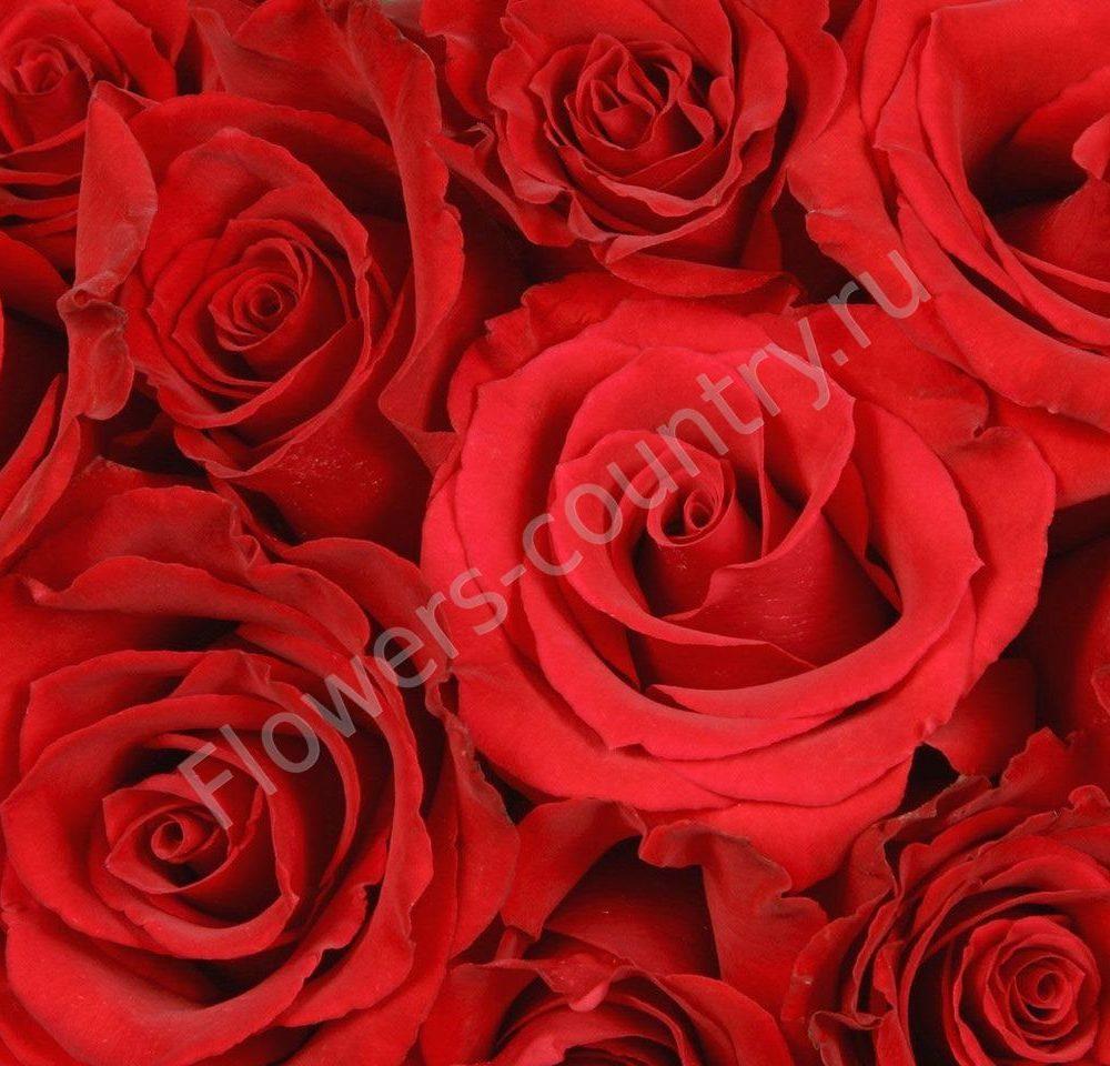 Красные розы оптом