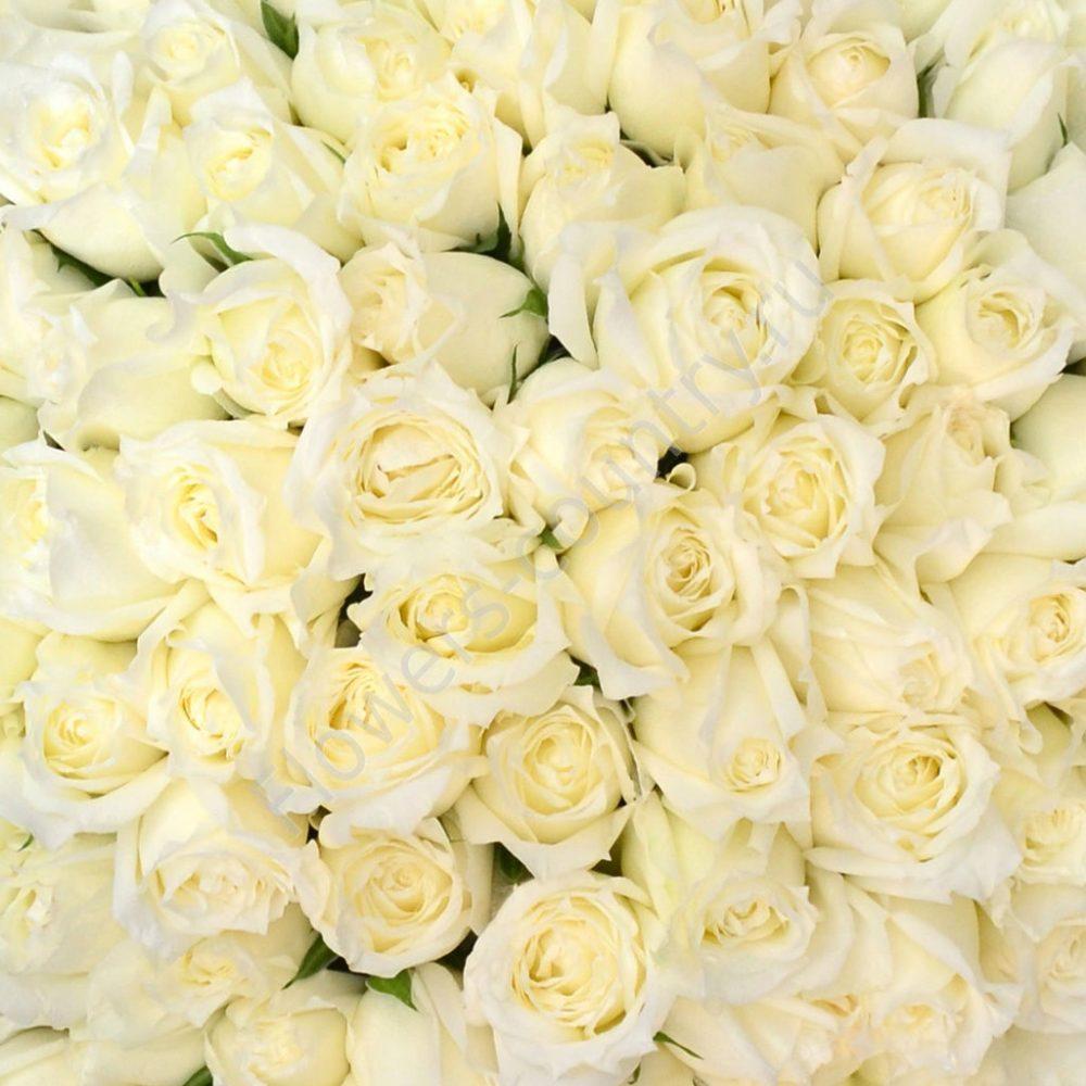 Белые розы оптом