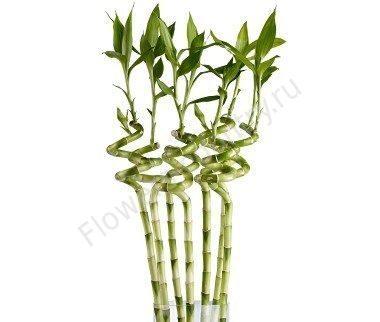 Бамбук декоративный 35см