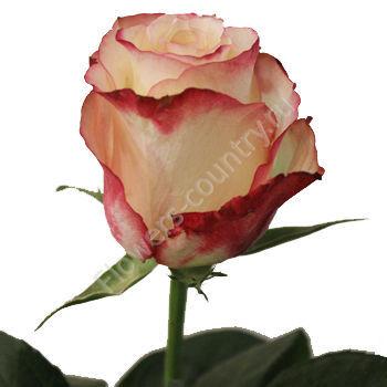 Красно-белая роза «Свитнесс»