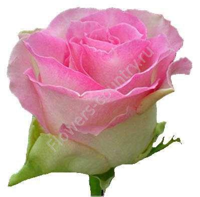 Бело-розовая роза «Малибу»