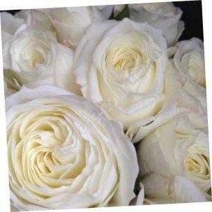 Белая пионовидная роза david austin
