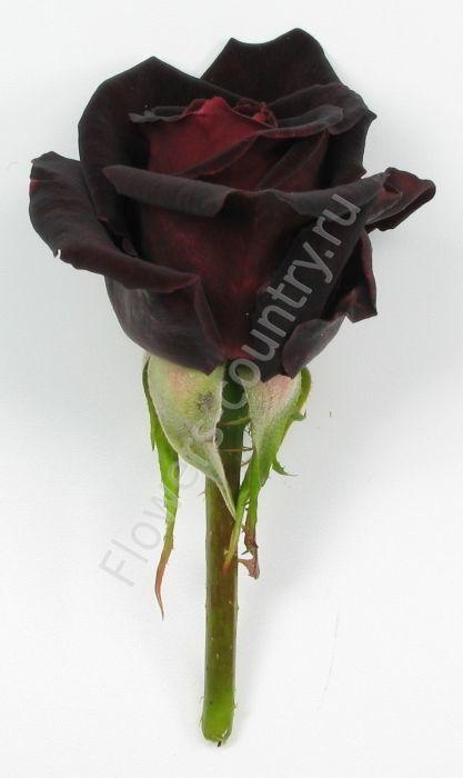 Черная роза black baccara