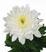Хризантема белая одноголовая