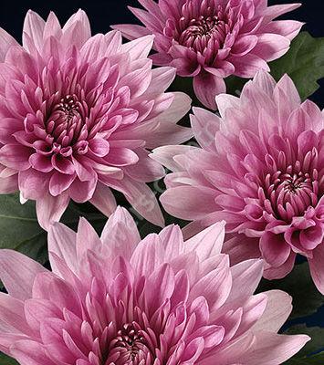 Хризантема фиолетовая одноголовая