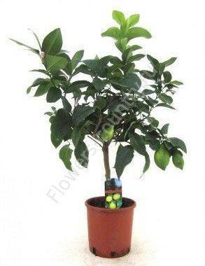 Домашнее лимонное дерево 60 см