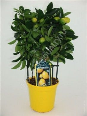 Лимонное дерево — 40 см.