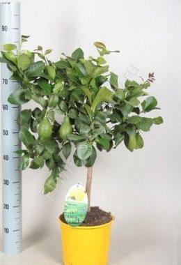 Лимонное дерево с плодами 90 см