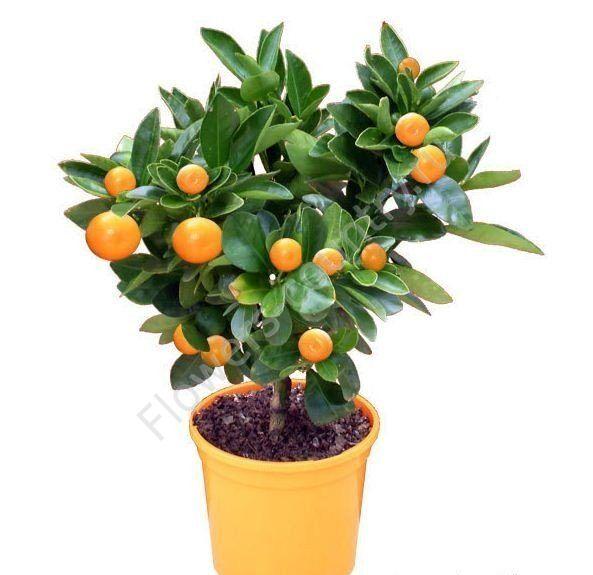Мандариновое дерево 40 см