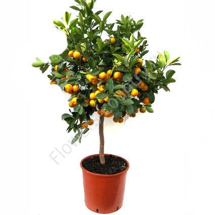 Мандариновое дерево 100 см