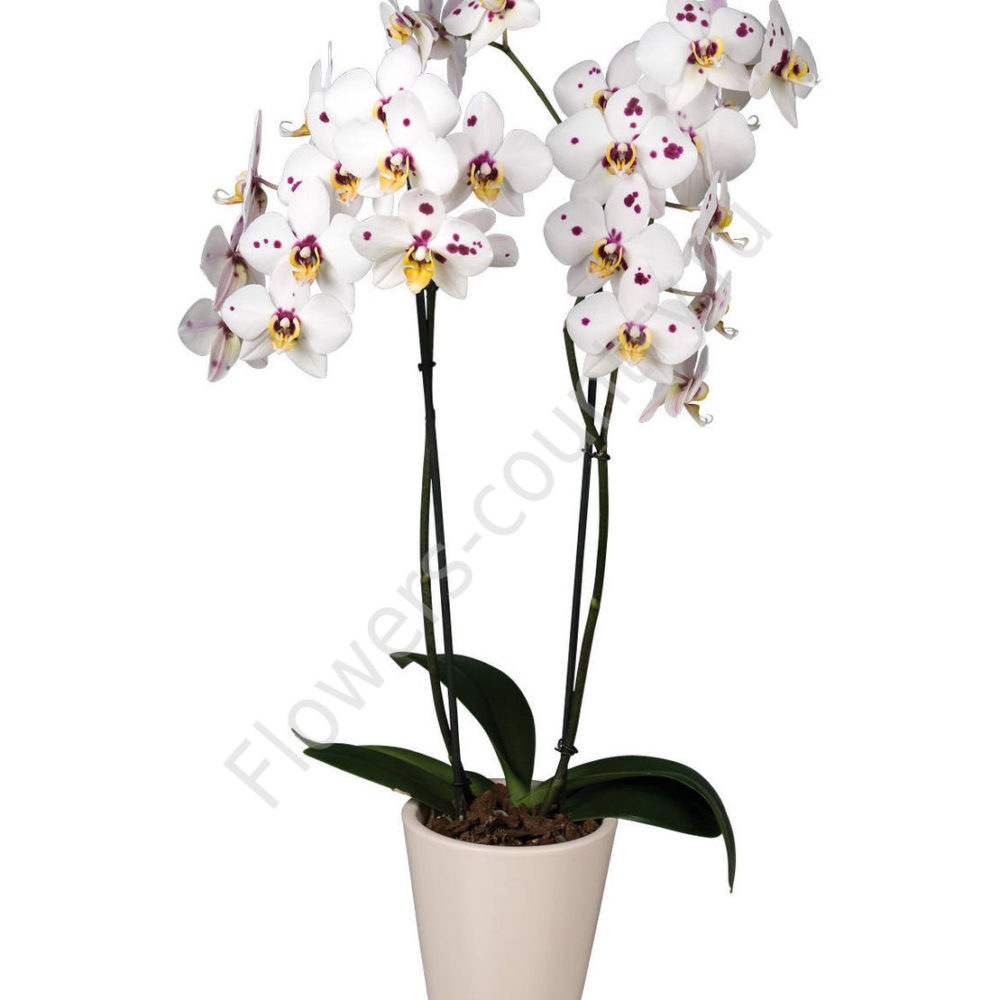 Орхидея домашняя adelaide