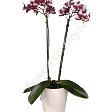 Орхидея домашняя almeria