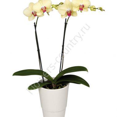 Орхидея домашняя amalfi