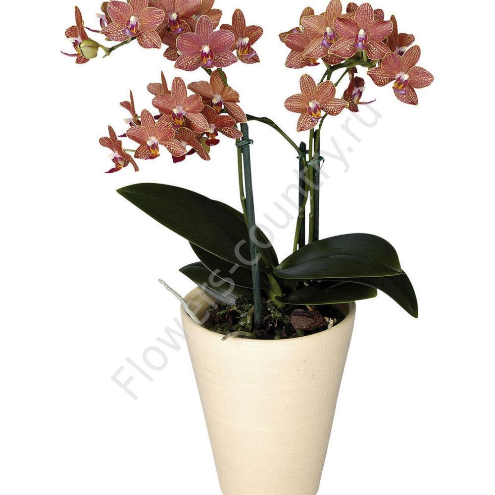Орхидея домашняя amolar