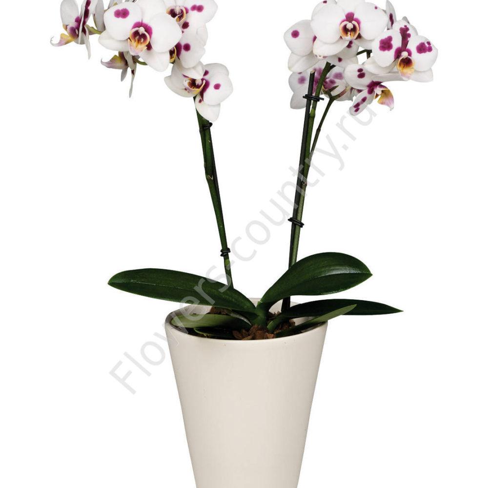 Орхидея домашняя bilbao