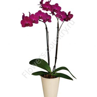 Орхидея домашняя bordeaux