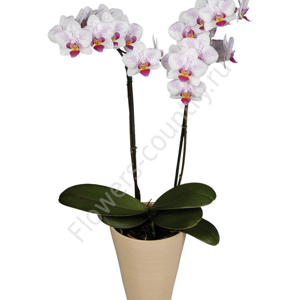 Орхидея горшечная