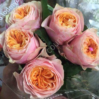 Персиковая пионовидная роза