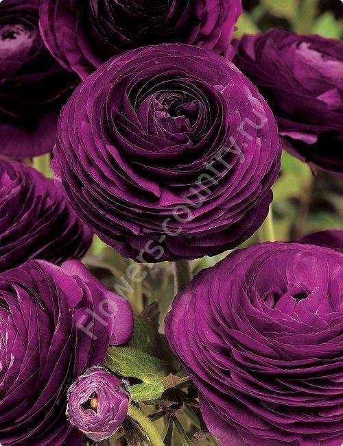 Фиолетовый ранункулюс