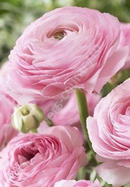 Нежно-розовый ранункулюс