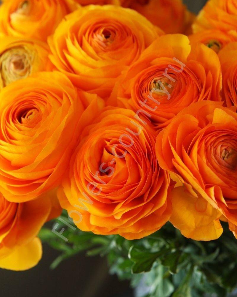 Оранжевый ранункулюс