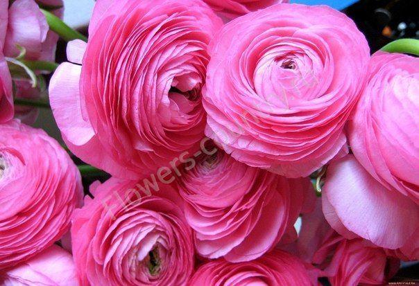 Ярко-розовый ранункулюс