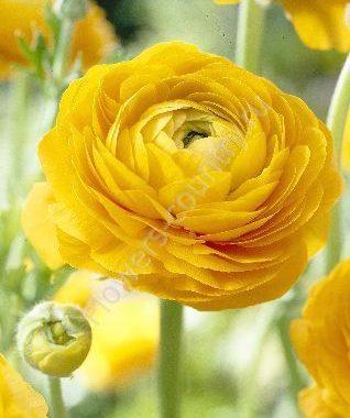 Желтый ранункулюс
