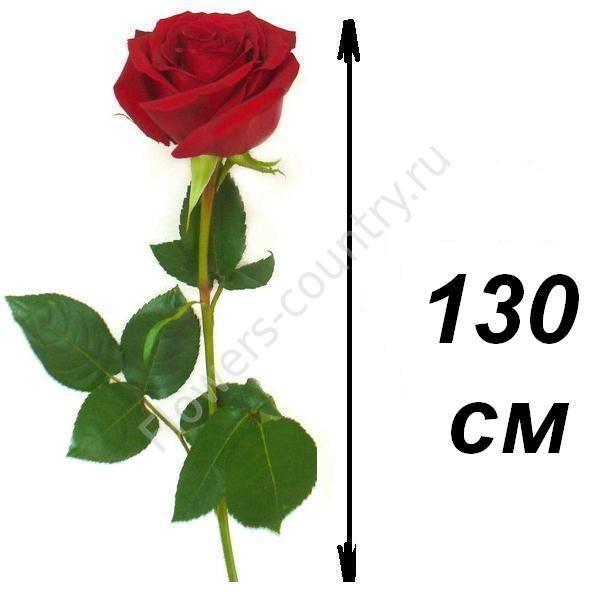 Розы 130 см