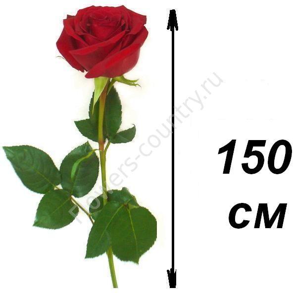 Розы 150 см