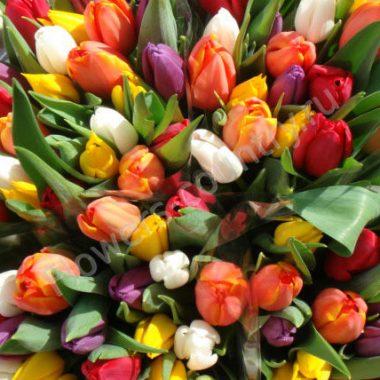 Дешёвый тюльпан