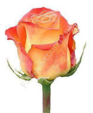 Оранжевая роза циркус